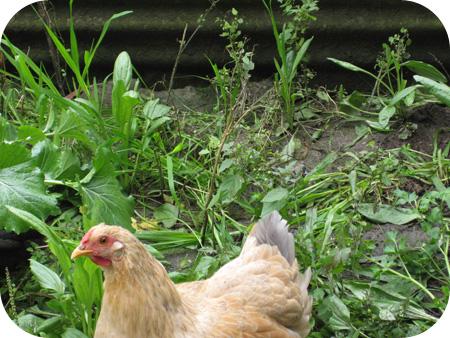 Dorothy_chicken